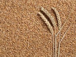 Food wheat 12-14% protein