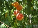 Fruites from the foothills of Turkmenistan - photo 7